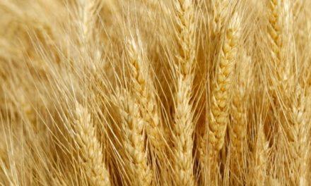 Dal seme al piatto, un percorso di ricerca virtuoso per lo sviluppo della filiera cerealicola